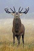 Male Red deer troating Great Britain