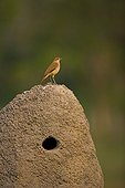Sparrow and its shelter in Pantanal National Park Brazil