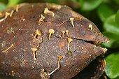 Acorn Cup Fungi on a rotting gland