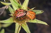 Red Shield Bugs mating on a flower