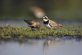 Dunlin &  Common Ringed Plover searching for food France