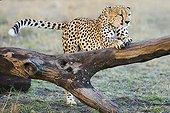 Cheetah stretching at tree Maasai Mara Kenya
