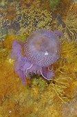 Méduse pélagie nageant au-dessus d'Algues Mer Méditerranée ; Cette méduse possède des filaments urticants de plusieurs mètres, brûlures douloureuses, occasionne de nombreuses fermetures de plages durant l'été sur la Côte d'Azur lors des apparitions massives