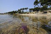 Méduse pélagie nageant près de la côte Mer Méditerranée ; Cette méduse possède des filaments urticants de plusieurs mètres, brûlures douloureuses, occasionne de nombreuses fermetures de plages durant l'été sur la Côte d'Azur lors des apparitions massives