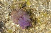 Méduse pélagie nageant près de la côte Mer Méditerranée ; Cette méduse possède des filaments urticants de plusieurs mètres, brûlures douloureuses, occasionne de nombreuses fermetures de plages durant l'été sur la Côte d'Azur lors des apparitions massives.