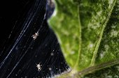 Parasitic Acarids in their web on a house plant