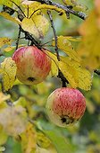 Apples variety 'Framboise d'Oberland'  Conservatory orchard