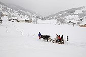 Sledge pulled by an Ox from Vosges Vosges France
