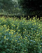 Moutarde en fleur dans un jardin