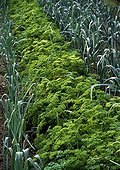 Curled parsley and leeks in a garden