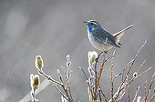 Bluethroat male singing in Swedish Lapland
