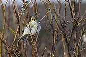 Willow Warbler singing in Willow during the spring Arctic