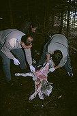 Gardes inspectant un agneau tué en zone à Ours Pyrénées ; Garde de l'ONCFS : Etienne Dubarry. Pour confirmation d'une attaque d'ours.