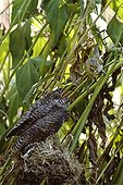 Common Cuckoo in the nest fed by a Warbler Catalonia
