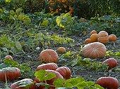 Citrouilles dans un jardin potager en automne
