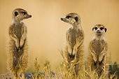 Meerkats sentinel looking out for predato Kalahari Botswana