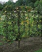 Verrier palmette pear tree 'Charles Ernest'