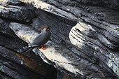 Inca Tern on a rock at the Lisbon Oceanarium