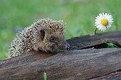 Western European Hedgehog sniffing near a Lawndaisy