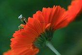A praying mantis on a flower garden Souci ; The praying mantis cleans antennas