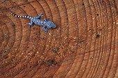 Common Wall Gecko on one strain of an african cedar