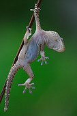Common Wall Gecko suspended from a twig