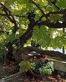 Harvest of grapes in a garden