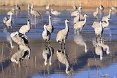 Sandhill Crane wintering in New Mexico USA