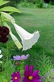 Datura in bloom in a garden