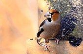 Hawfinch on a feeding dish in Vaucluse