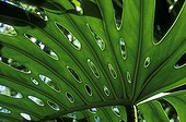 Leaf Philodendron Guadeloupe