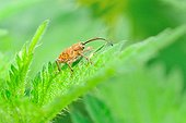 Acorn Weevil on a Stinging Nettle leaf in Touraine France