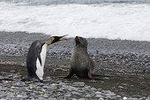 Meeting between a King penguin and Antarctic Fur Seal