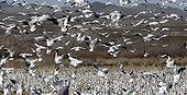 Gathering of Snow Geese and Sandhill Crane USA