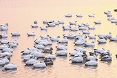 Snow geese wintering in New Mexico USA