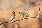 Dispute between an European Greenfinch and Brambling