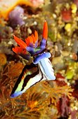Nudibranch floating near a Coral reef Sulawesi