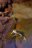 European Frog in water Alt Pirineu Natural Park Spain