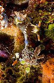 Coupling of Nudibranches on Coral Sulawesi