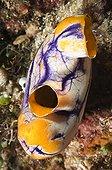 Tunicier coloré flottant près d'un récif corallien Sulawesi