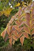 Japanese angelica tree's branch in a garden in autumn