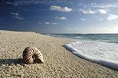 Nautilus shell on a sandy beach of the island Huon