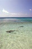 Blacktip Reef Shark swimming near the beach Ilot Huon ; Major nesting site for green turtles