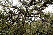 Kaori du Mont Panié dans la réserve botanique Hienghene ; Altitude de 900m