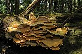 Tuft of chickens of the woods on a dead tree