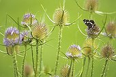 "Map butterfly gathering nectar of a group of Teasel ; Form brown summer ""prorsa"""