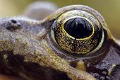 Close-up of the eye of an European Common Frog