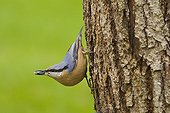 Wood Nuthatch on a trunk with seeds in the beak Lorraine