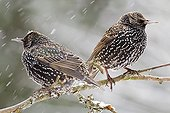 Common Starlings under the snow LorraineFrance