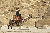 Dromedary camel in front of a pyramid Egypt